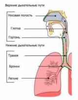 Верхних дыхательных путей-это наружный нос, полость носа, носоглотка и ротоглотка. Анатомия и физиология дыхательной системы