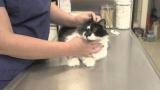 Прививки от бешенства для кошек: о необходимости вакцинации, составе вакцины, календарь прививок, противопоказания и рекомендации ветеринаров