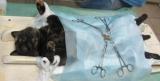 Кастрация кота: подготовка к операции