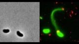 Бактерии крадут ДНК для быстрой эволюции