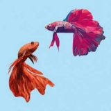 Корм для Рыб-петух: типы, выбор, норма в день. Рыба педик: уход и содержание