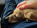 Баланопостит у собак: симптомы и лечение дома