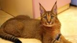 Home lynx: породы кошек, содержание, характер и особенности