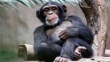 У шимпанзе чисто человеческие чувства нашли