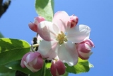 Формула цветка яблони. Структура яблони