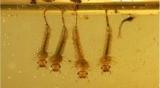Личинки комаров стали питаться пластик