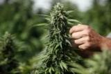 Врачи впервые зафиксировали смерть от передозировки марихуаны