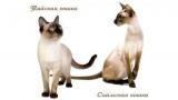 Тайские и сиамские кошки: сходства и различия, описание, фотографии