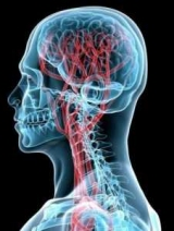 Артерии головного мозга: типы и функции. Анатомия головного мозга