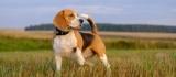 Собака бигль: цвета. Стандарт и разнообразие