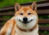 Собака-рот: порода. Сиба-ину (шиба-ину): описание породы, характер, уход, отзывы