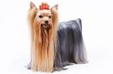 Шампунь для йорков: обзор косметики для собак, особенно использование советы кинологов